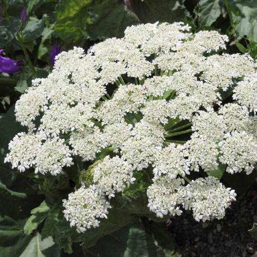 kwiatostan Heracleum sosnowskyi